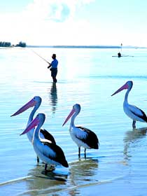 Pelicans on the Broadwater at Labrador